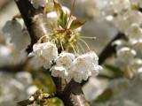 June Cherries