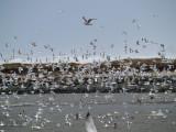 Storm Gulls