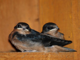 The Last Clutch of Swallows