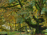 Maples and Alders