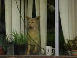 How much for the coyote in the window?