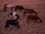 Blackfeet Ponies in The Morning Twilight