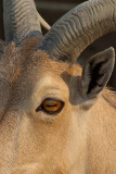 Eye Horns Ear