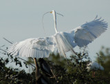 Great Egret, Taking Wing