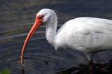 White Ibis, Fishing