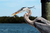 Heron With Shrimp