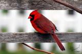 Cardinal On The Grape Arbor