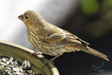 Female House Finch (?)