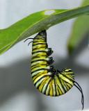 §Monarch Metamorphosis-1
