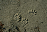 River Otter in Loose Sand