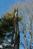 Pileated Woodpecker Nest Holes