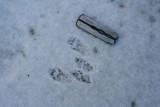 Gray Squirrel in Light Snow