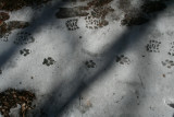 Domestic Dog on Ice covered with Light Snow