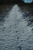 Canine Tracks Along the Powerlines