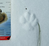 Possible Bobcat with Scale