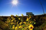 D200_5629Hwy152Sunflower1.jpg