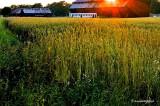 farming in summer, sweden