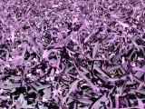 Purple Flowers Al Aqah.JPG