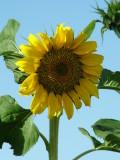 Sunflower Jebel Hafeet.JPG