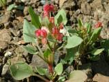 Desert Flowers 4.JPG