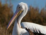Pelican Portraits