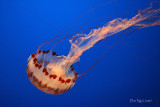 Jellies - Artistry in Motion