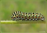 rups koninginnepage  - Papilio machaon