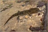 larve vuursalamander