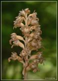 vogelnestje (orchis)