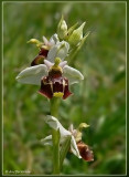 hommelorchis