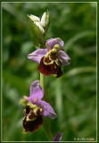 Hommelorchis - Ophrys holoserica