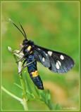 Pgegeavlinder