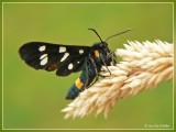 Phegeavlinder - Amata phegea