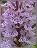 Gevlekte orchis - Dactylorhiza maculata