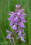Veenorchis - Dactylorhiza sphagnicola subsp. sphagnicola