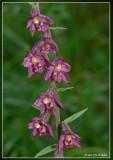 Bruinrode wespenorchis - Epipactis atrorubens