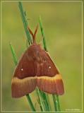 Hageheld - Lasiocampa quercus