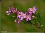 Echt duizendguldenkruid - Centaurium erythraea