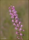 Struikheide - Calluna vulgaris