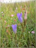 biotoop gentiaanblauwtje