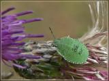 groene stinkwants (nimpf)
