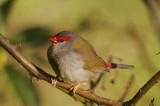 Finch, Wren, Honeyeater