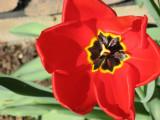 My Tulips 2007