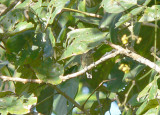 Black-dotted Piculet