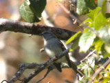 Black-fronted Tyrannulet