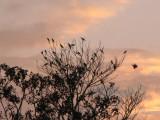 Crested Oropendola sunset