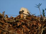 Harpy Eaglet