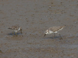 Least & Semipalmated Sandpipers