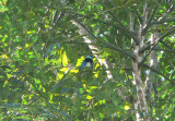 Masked Tanager