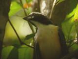 Orinocan Saltator